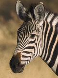Burchells Zebra  Close-up Portrait  Botswana (August)