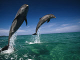 Bottlenose Dolphins  Tursiops Truncatus