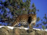 Amur Leopard  Panthera P Orientalis