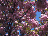 Flowering Cherry Tree  Ct