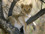 African Lion  Cub  Botswana