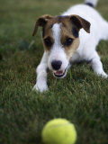 Jack Russell Terrier Playing with Ball in Backyard