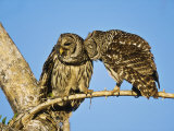 Barred Owl  Pair Bonding  Florida  USA