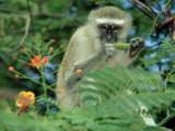 Vervet Monkey  Zimbabwe
