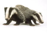 Badgers  Juveniles