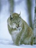 European Lynx  Female Grooming Foot  Norway