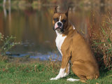 Boxer Dog Near a Pond