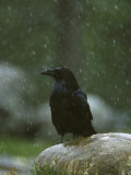 Raven  Perched on Rock in Falling Snow  Yellowstone National Park  USA