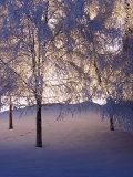 Snowy Light Trees  Anchorage  Alaska