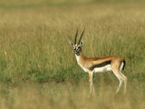 Thompsons Gazelle  Masai Mara NR  Kenya