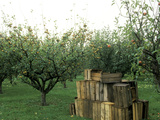 Apple Orchard  Apple Collecting in Wooden Boxes