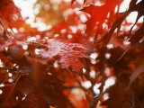 Raindrops on Oak Leaves