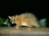 Common Brushtail Possum  Queensland  Australia