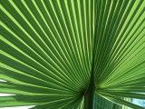 Palm Leaf  Scotland