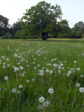 Oak Tree (Quercus) in Meadow with Dandelion Seedheads