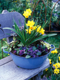 "Narcissus ""Spitfire"" and Primula Planted into Blue Tub Sitting on Wooden Bench"