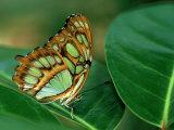 Malachite Butterfly  Siproeta Stelenes