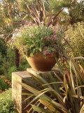 Phormium  Verbena  Gazania Fuchsia & Argyranthemum Overbecks  Devon
