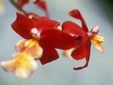 Burrageara (Stefan Isler)  Orchid  Close-up of Red Flower