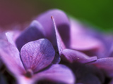 Hydrangea Macrophylla (Bouquet Rose)  Close-up