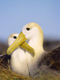 Waved Albatross  Pair Bonding  Espanola Island  Galapagos