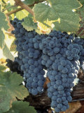 Wine Grapes  Vineyard  CA
