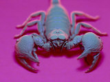 Emperor Scorpion Under UV Light  Africa