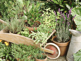 Herbs in Pots Rosemary/Bay/Marjoram Sage  Wheelbarrow &amp; Metal Jug