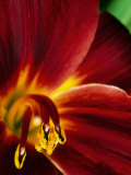"Hemerocallis ""Root Beer"" (Daylily)"