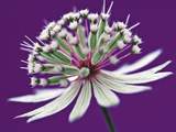 Astrantia (Masterwort)  Flower on Purple Background