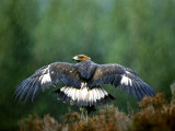 Golden Eagle  Male Perched  Highlands  Scotland