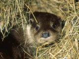 Otter in Straw  Aylesbury  UK