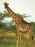 Giraffe  Ngorongoro Crater  Africa