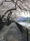 Cherry Blossoms  Sakura  Hakone  Japan