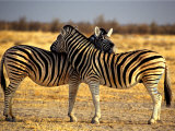 Two Zebras Crossing Heads