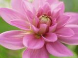 Dahlia X Bluesette (Park Dahlia)  Close-up of Pink Flower