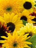Helianthus (Mixed Cut Flower)
