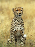 Cheetah  Ngorongoro Crater  Africa