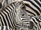 Burchells Zebra, Head, Botswana Papier Photo par Mike Powles