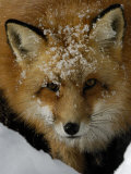 Red Fox  Winter  USA