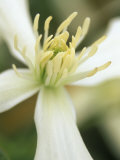 Clematis Armandii  Snowdrift  March
