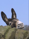 Donkey  Peering Over a Stone Wall  UK