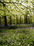 Bluebells and Beech Leaves in Oak Woodland  Forest of Dean  Gloucestershire
