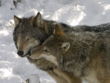 Gray Wolf  Two Captive Adults Kissing  Montana  USA