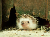 Four-Toed Hedgehog  England  UK
