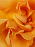 "Rosa ""Tennessee"" Close-up of Orange Flower"