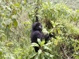 Mountain Gorilla  Female Climbing for Food  Rwanda