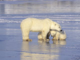 Polar Bears  Mother and Cub  Manitoba  Canada