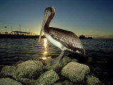 Brown Pelican  Baja California  Mexico