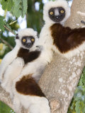 Coquerels Sifaka  Female with Youngster on Back  Madagascar
